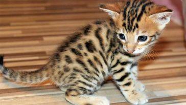 Bengal kitten care