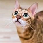 Is Bengal Cat Hypoallergenic Cat Breed