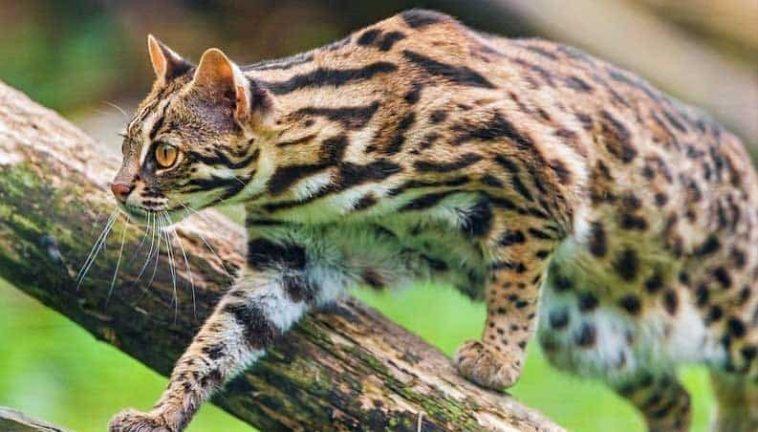 Asian Leopard Cat (Prionailurus bengalensis)