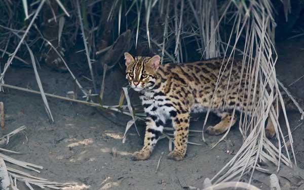 Asian leopard cat behavior
