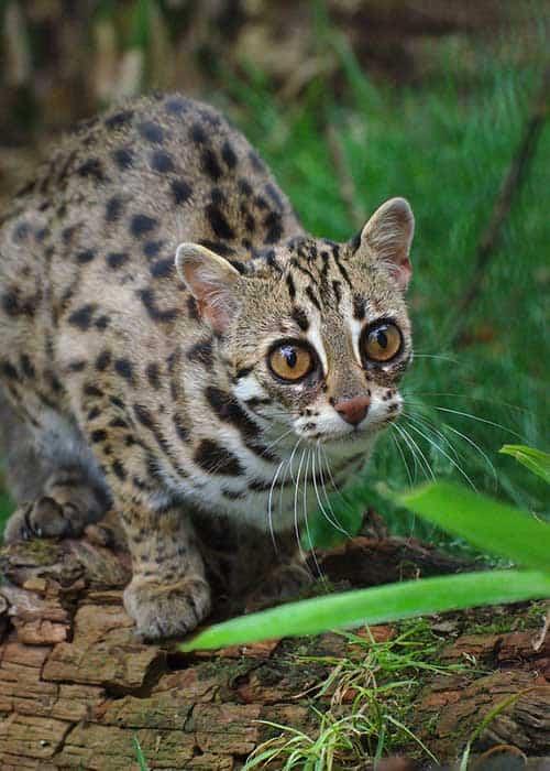 Asian leopards cat picture