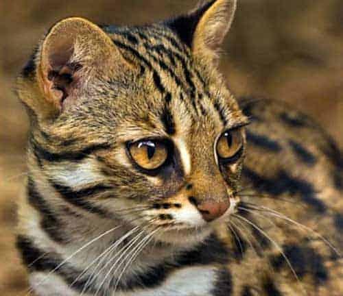 Image of Asian leopard cat