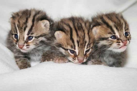 Leopard cat babies