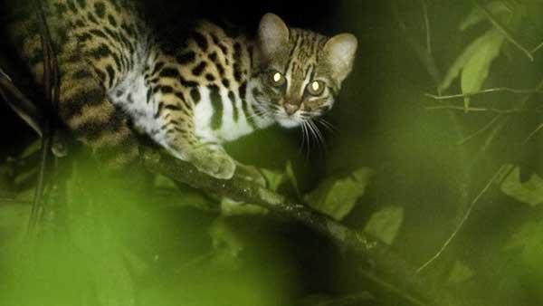 Leopard cat resting in a tree