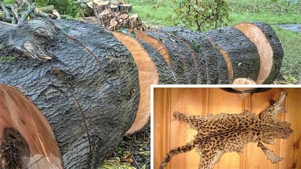 Principal threats facing the leopard cat
