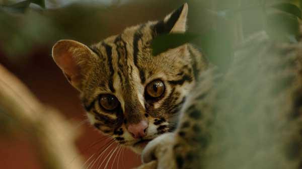 The Asian leopard cat's head